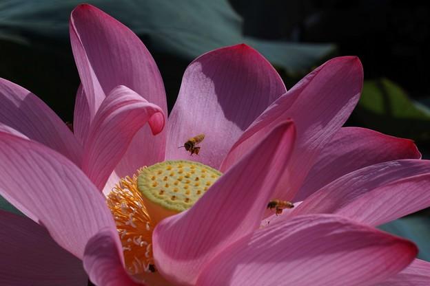 写真: 蓮の花とハチ1