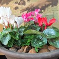 写真: 11年目のシクラメンが咲きました