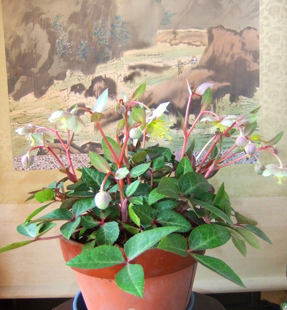 6年目のクリスマスローズが咲いています