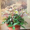 写真: 6年目のクリスマスローズが咲いています