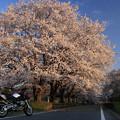 200804廃線跡の桜