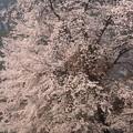 201204-3朝モヤ桜