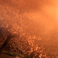 201404_桜×夜霧?