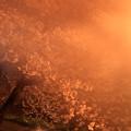 Photos: 201404_桜×夜霧?