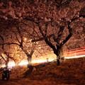 201204-2夜桜