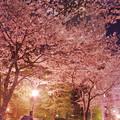 201805-1_都会の桜