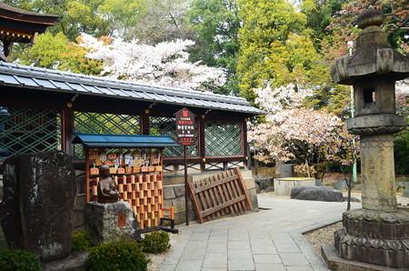御香宮本殿と桜