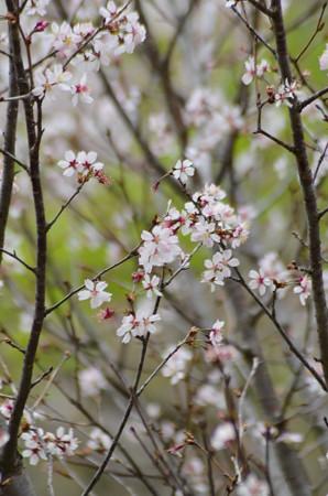 千島桜(チシマザクラ)