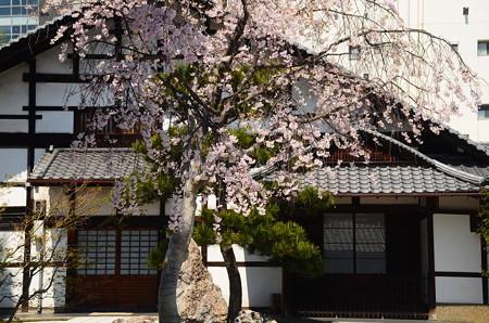 大應寺の八重紅枝垂れ