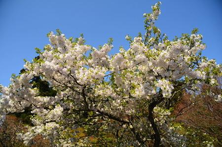 満開の大島桜(オオシマザクラ)