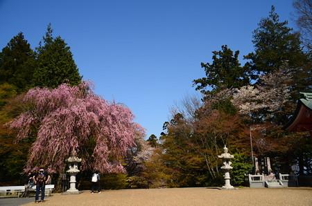 阿弥陀堂前の桜