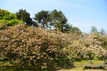出水広場の八重桜