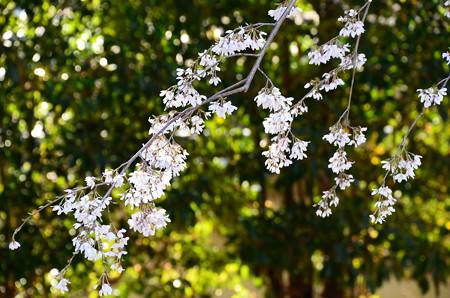 三春の滝桜系枝垂れ桜