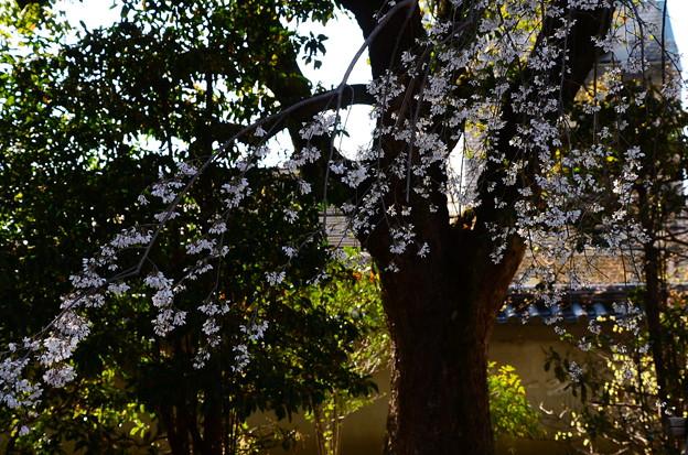 写真: 三春の滝桜系枝垂れ桜