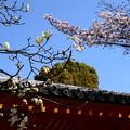 写真: 白木蓮と染井吉野(ソメイヨシノ)