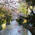 写真: 高瀬川の染井吉野