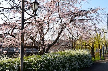 枝垂れ柳と雪柳のある桜風景