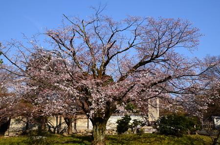 養源院の山桜(ヤマザクラ)