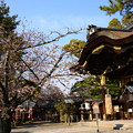 写真: 本殿と咲き始めた染井吉野(ソメイヨシノ)