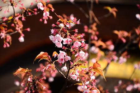 蜂須賀桜(ハチスカザクラ)