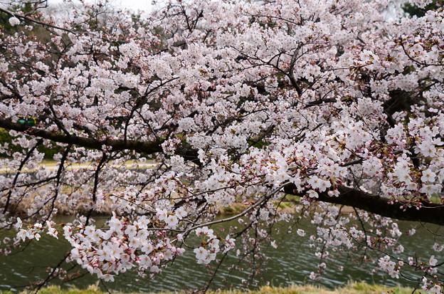 写真: いち早く見頃の染井吉野(ソメイヨシノ)