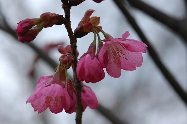写真: 横浜緋桜(ヨコハマヒザクラ)