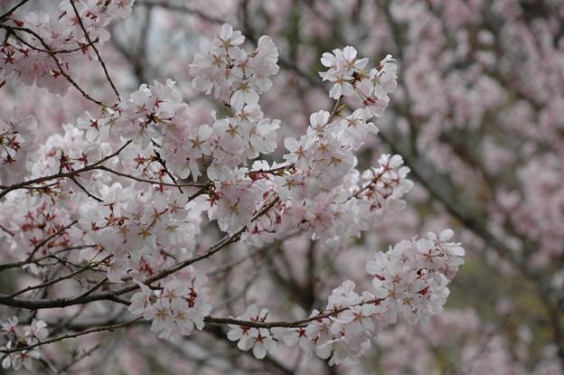写真: 越の彼岸桜(コシノヒガンザクラ)