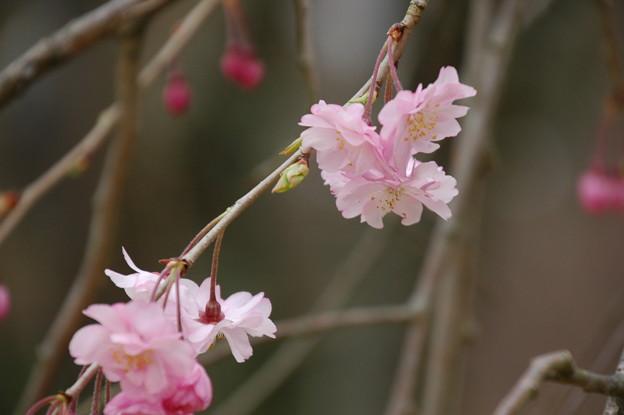 写真: 咲き始めた八重紅枝垂れ(ヤエベニシダレ)