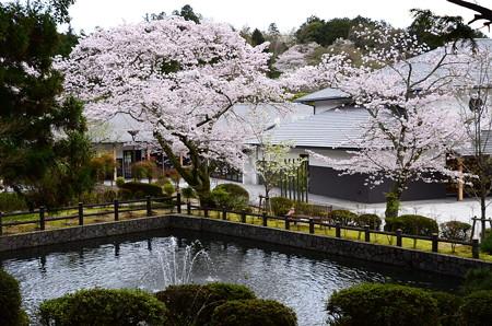 染井吉野満開の武田薬用植物園