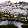 写真: 染井吉野満開の武田薬用植物園