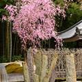 写真: 奔龍庭の八重紅枝垂れ
