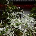 写真: 雪柳(ユキヤナギ)