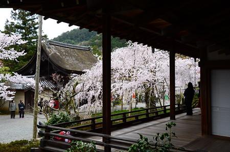 宸殿と枝垂れ桜