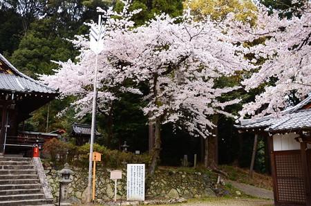 染井吉野咲く八幡宮