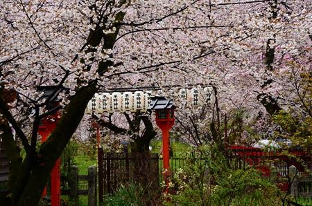 桜に囲まれる灯篭と提灯