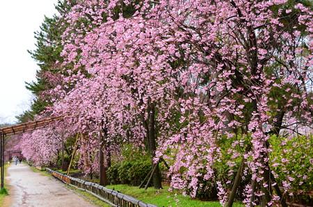 半木桜も見頃~