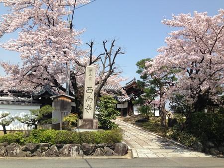 西向寺の桜