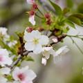 写真: 西宮権現平桜(ニシノミヤゴンゲンダイラザクラ)