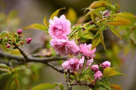 菊枝垂桜(キクシダレザクラ)