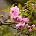 写真: 菊枝垂桜(キクシダレザクラ)