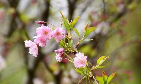 熊谷桜(クマガイザクラ)
