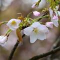 写真: 霞桜(カスミザクラ)