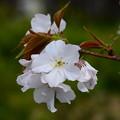 写真: 白山旗桜(ハクサンハタザクラ)