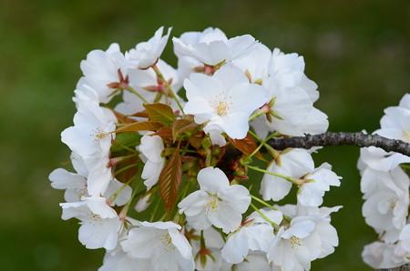 大芝生南の桜
