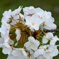 写真: 大芝生南の桜