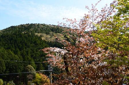 山門前から見た桜