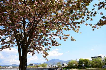 鴨川公園の兼六園菊桜(ケンロクエンキクザクラ)