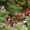 写真: 石楠花も満開~