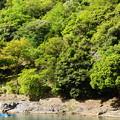 写真: 山藤咲く保津川