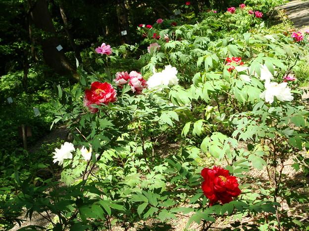 花明山植物園の牡丹